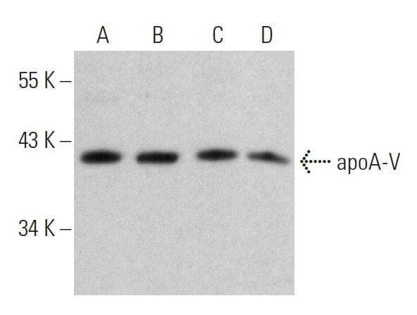 ApoA-V Antibody (A-12)