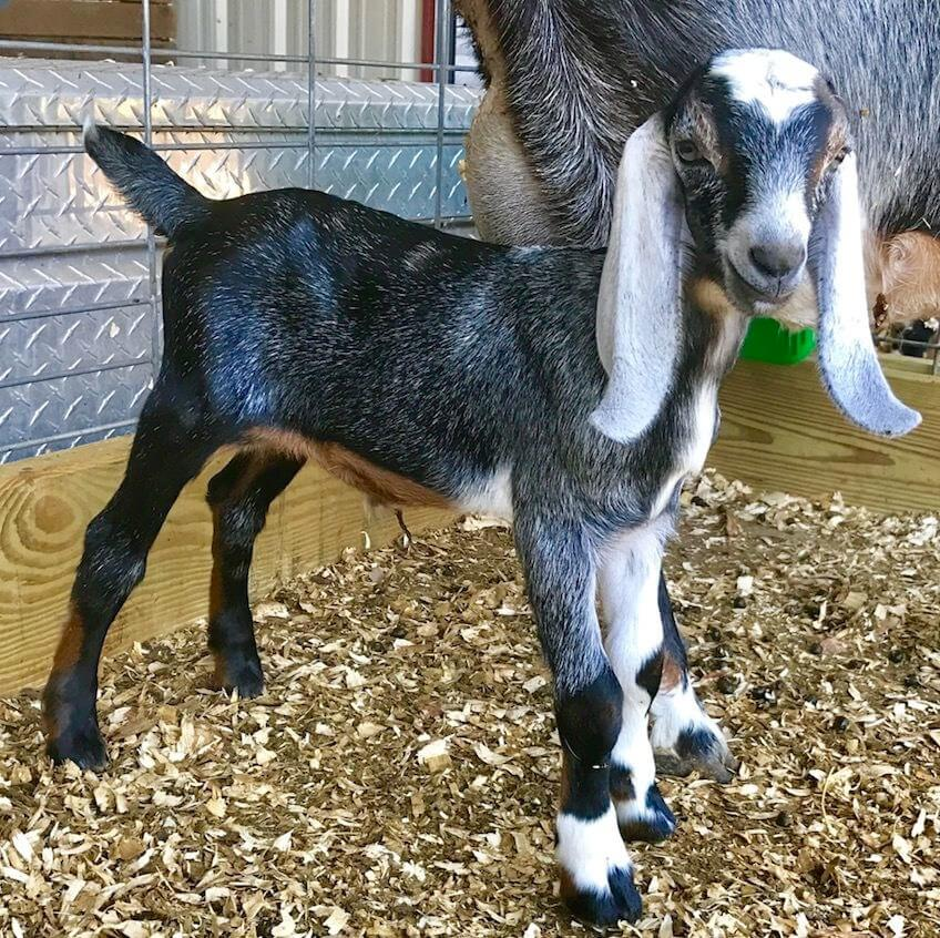 UltraCruz® Goat Copper Bolus Supplement | Santa Cruz Animal