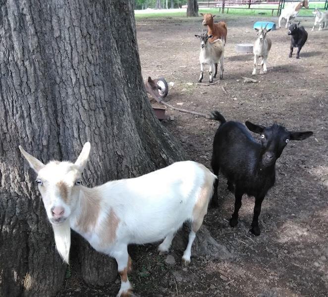 Ultracruz Goat Copper Bolus Supplement Santa Cruz Animal Health