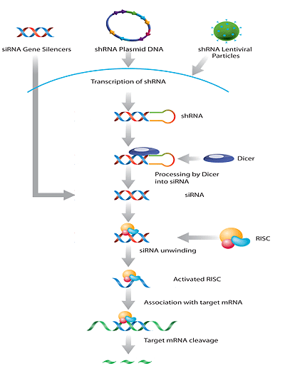 Santa Cruz Biotechnology