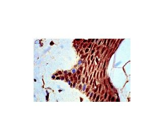 JNK (FL): sc-572. Immunoperoxidase staining of formalin-fixed, paraffin-embedded normal human...