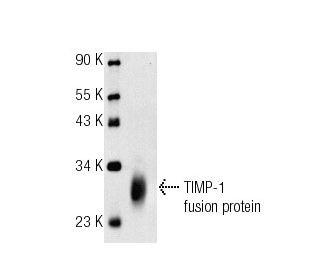 TIMP-1 (C-20): sc-6832. Western blot analysis of human recombinant TIMP-1...
