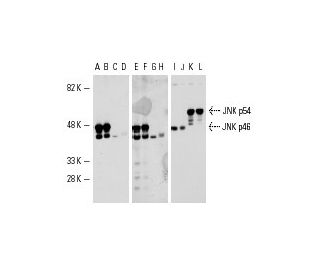 Western blot analysis of JNK1 and JNK2 expression in COS...