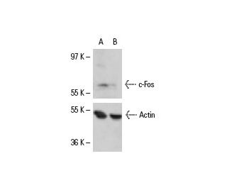 c-Fos siRNA (h): sc-29221. Western blot analysis of c-Fos expression...