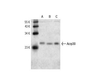 Acrp30 (A-13): sc-26497. Western blot analysis of Acrp30 expression in...