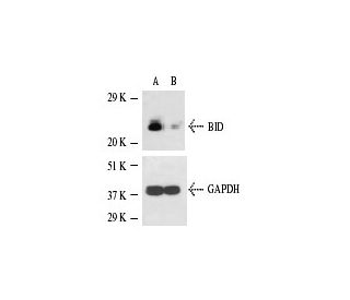BID siRNA (m): sc-29801. Western blot analysis of BID expression...