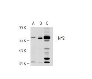 Nrf2 (C-20): sc-722. Western blot analysis of Nrf2 expression in...