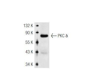 PKC delta (C-17)-G: sc-213-G. Western blot analysis of PKC delta ...