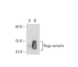 Nogo (N-18): sc-11027. Western blot analysis of Nogo expression in...