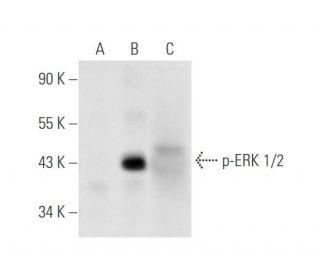 p-ERK 1/2 (Thr 202/Tyr 204)-R: sc-16982-R. Western blot analysis of...