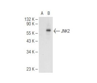 JNK (FL): sc-572. Western blot analysis of JNK2 expression in...