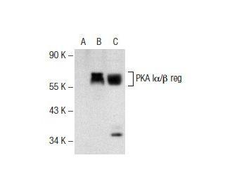 PKA I alpha / beta reg (H-90): sc-28893. Western blot analysis of PKA...