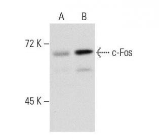 c-Fos (4): sc-52. Western blot analysis of c-Fos expression in...