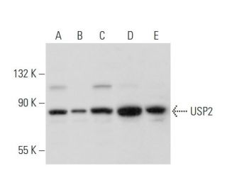 USP2 (H-50): sc-135282. Western blot analysis of USP2 expression in...