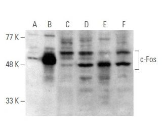 c-Fos (4) HRP: sc-52 HRP. Direct western blot analysis of...