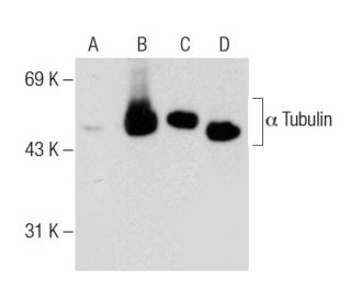 Western blot analysis of alpha Tubulin acetylation in untreated (A,C)...
