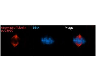 acetylated alpha Tubulin (6-11B-1): sc-23950. Immunofluorescent staining of methanol fixed...