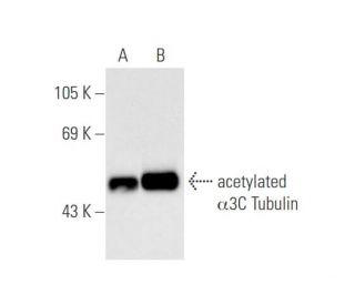 acetylated alpha Tubulin (6-11B-1): sc-23950. Western blot analysis of alpha 3C...