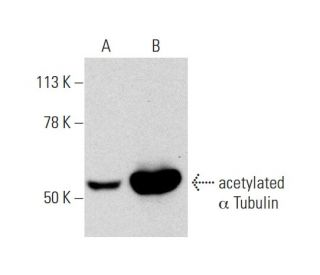 acetylated alpha Tubulin (6-11B-1): sc-23950. Western blot analysis of acetylated...