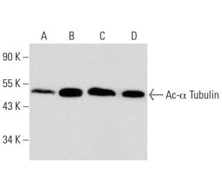 Western blot analysis of alpha Tubulin acetylation in untreated (A)...