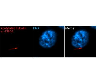 acetylated alpha Tubulin (6-11B-1): sc-23950. Immunofluorescent staining of methanol fixed,...