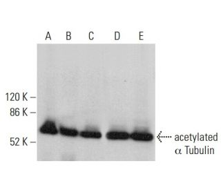 acetylated α Tubulin (6-11B-1): sc-23950. Western blot analysis of acetylated...