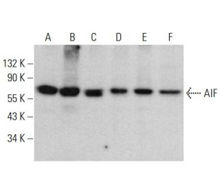 AIF (B-9): sc-55519. Western blot analysis of AIF expression in...