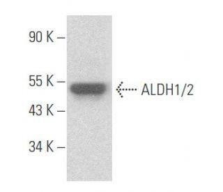 ALDH1/2 (H-8): sc-166362. Western blot analysis of ALDH1/2 expression in...