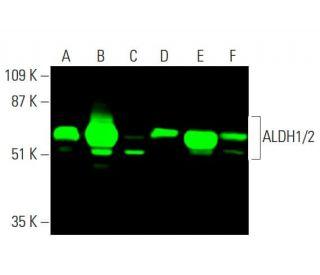 ALDH1/2 (H-8): sc-166362. Near-infrared western blot analysis of ALDH1/2...