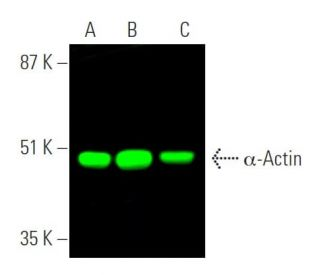 α-Actin (1A4): sc-32251. Near-infrared western blot analysis of α...
