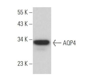 AQP4 (F-7): sc-390636. Western blot analysis of AQP4 expression in...