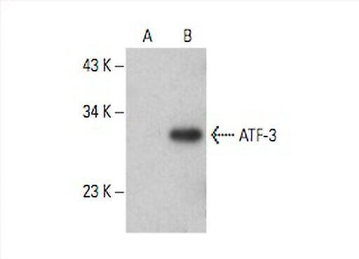 Mouse Monoclonal Anti-ATF-3 (Clone 44C3a) - Unconjugated