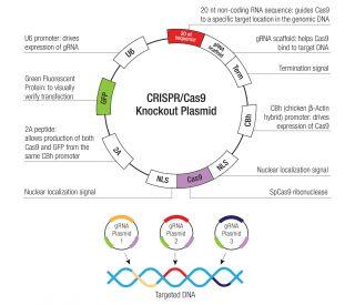 Cre Vector | SCBT - Santa Cruz Biotechnology