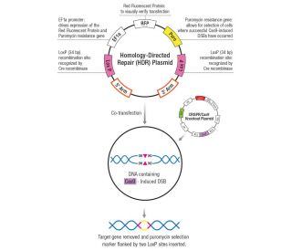 Insulin II CRISPR Knockout and Activation Products (m) | SCBT