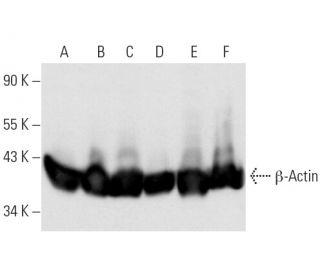 beta-Actin (C4): sc-47778. Western blot analysis of beta-Actin expression in...