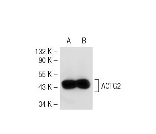 beta-Actin (C4): sc-47778. Western blot analysis of ACTG2 expression in...