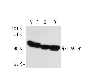 beta-Actin (C4): sc-47778. Western blot analysis of ACTG1 expression in...