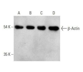 chicken anti-mouse IgG-HRP: sc-2954. Western blot analysis of beta-Actin expression...