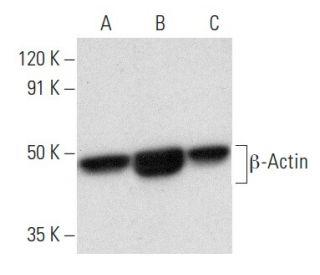 beta-Actin (C4) HRP: sc-47778 HRP. Direct western blot analysis of...