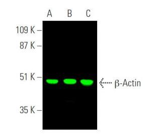 β-Actin (C4): sc-47778. Near-infrared western blot analysis of β...