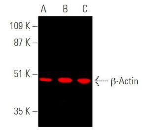 Antibody tested: β-Actin (C4): sc-47778. Near-infrared western blot analysis...