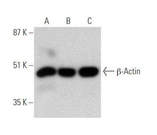 β-Actin (C4): sc-47778. Western blot analysis of β-Actin expression...
