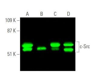 Anti C Src Src Antibody B 12 Scbt Santa Cruz Biotechnology