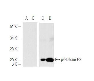 Calyculin A: sc-24000. Western blot analysis of Histone H3 phosphorylation...