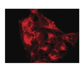 CD47 (B6H12): sc-12730. Immunofluorescence staining of methanol-fixed HeLa cells showing...