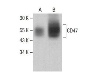 CD47 (B6H12): sc-12730. Western blot analysis of CD47 expression in Jurkat...