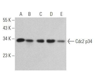 Cdc2 p34 (17): sc-54. Western blot analysis of Cdc2 p34...