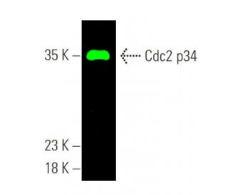 Cdc2 p34 (17): sc-54. Near-infrared western blot analysis of Cdc2...