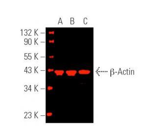 Cruz Marker™ MW Tag | SCBT - Santa Cruz Biotechnology