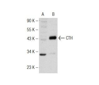 CTH (H-167): sc-135203. Western blot analysis of CTH expression in...